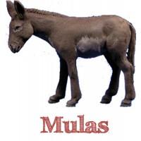 Mulas